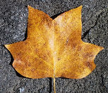 tulip leaf fall