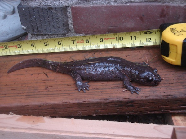 salamander